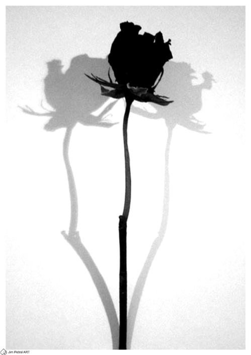 Rose / Shadow - Small